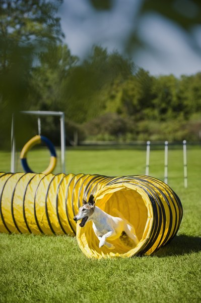 This agility dog is trained to race through the tunnel.