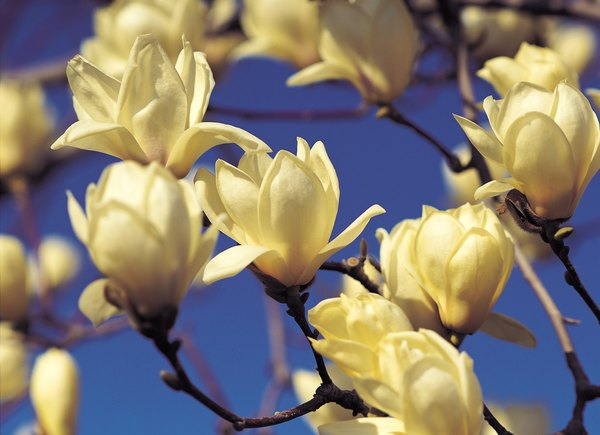 Are Magnolia Trees Poisonous To Dogs Or Cats Pets