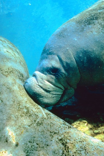 Manatees graze on seagrasses with flexible lips and flat molars.