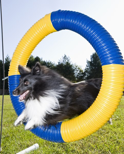 Shelties tend to excel at agility.