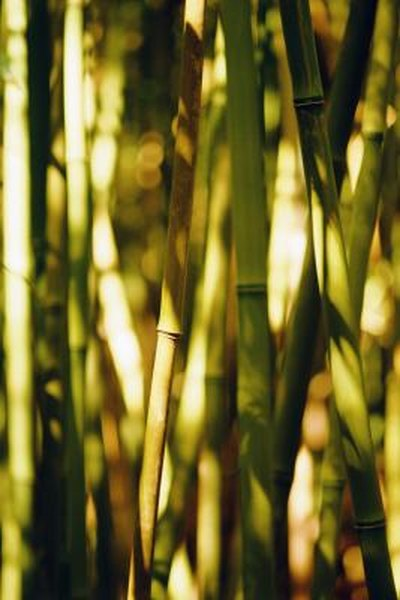 Pleasing Can You Create More Bamboo From One Plant Home Guides Interior Design Ideas Oteneahmetsinanyavuzinfo