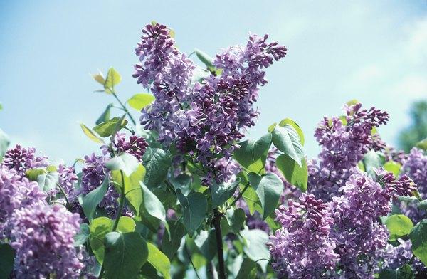 Las lilas son flores muy aromáticas.