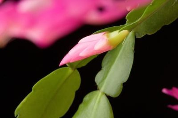 How To Stimulate Root Growth In A Christmas Cactus