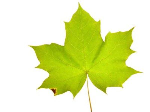 Image result for maple tree leaf
