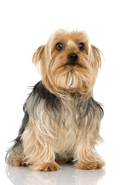 silky dog. dry skin can be a problem for some silky terriers. dog