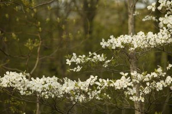 The Best Time To Transplant Dogwood Trees Home Guides Sf Gate