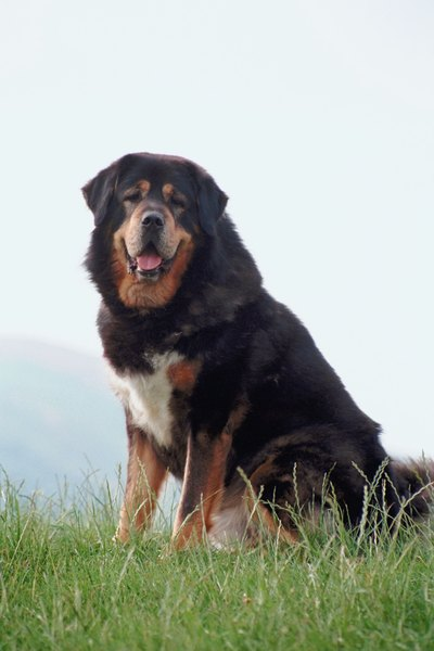 The Tibetan mastiff may be the Caucasian shepherd's oldest living relative.