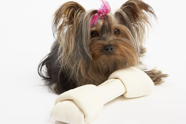Silky terriers need to be brushed on a weekly basis due to their long flowing hair becoming easily tangled.