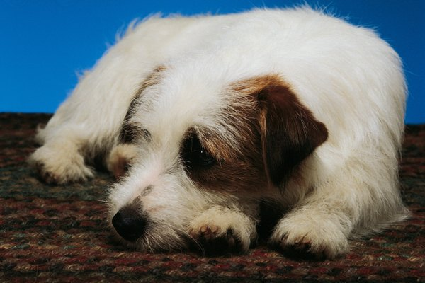 Rough-coated Parson Russell terriers have the longest fur.