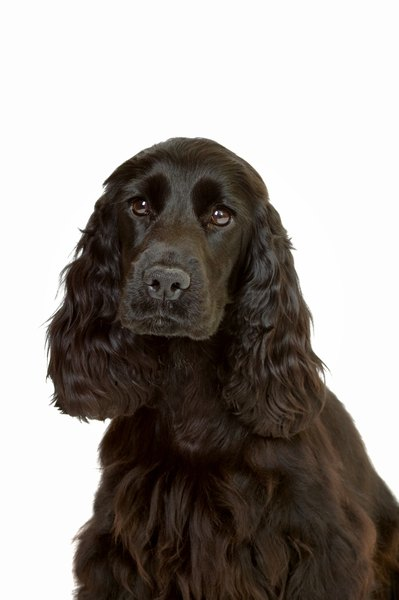 Cocker spaniels are one of many breeds predisposed to autoimmune hemolytic anemia.