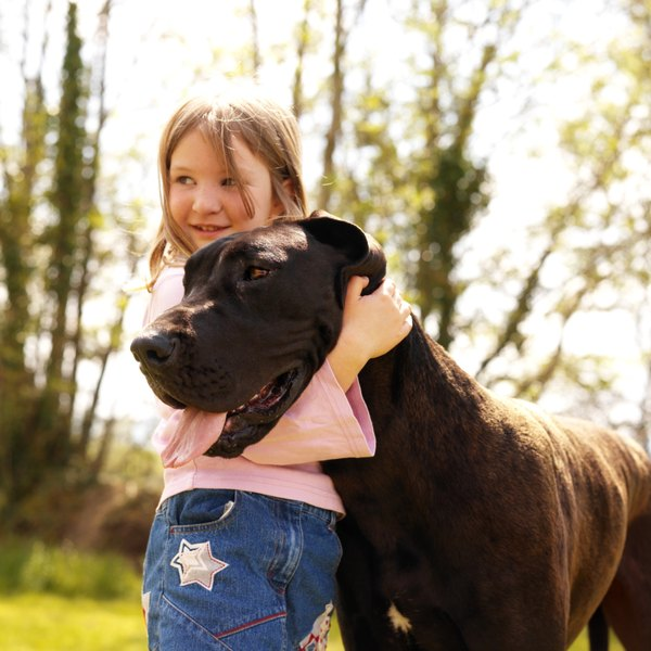 The average lifespan of a great Dane is only six to eight years.