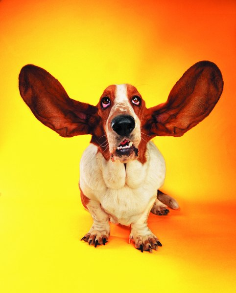 The ears are the most common place to prick for blood sugar testing.