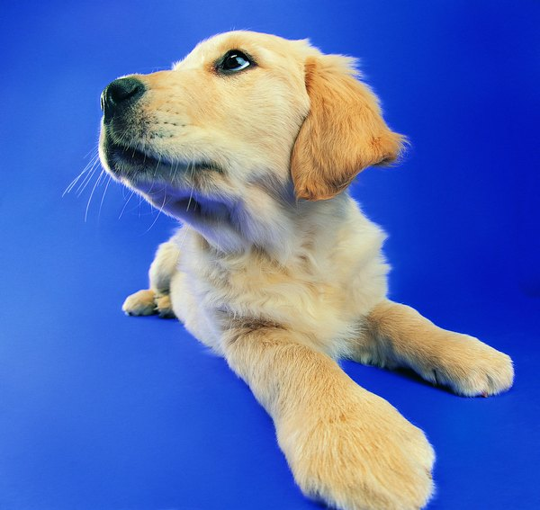 How To Care For Newborn Yellow Lab Puppies Pets