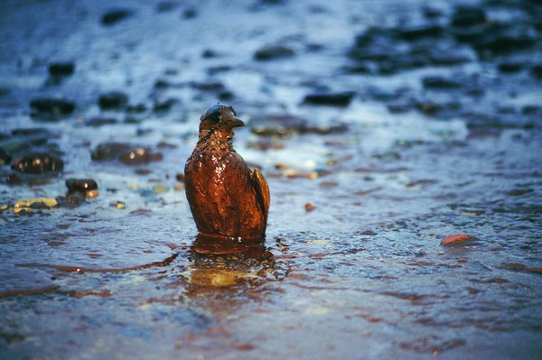 Oiled bird