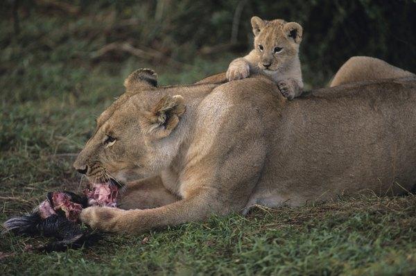 Lions feeding.