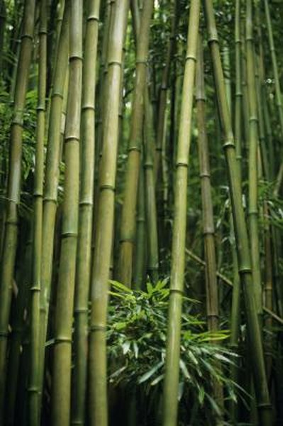 How to Propagate Giant Bamboo | Home Guides | SF Gate