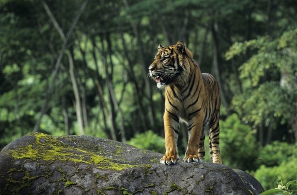 A sumatran tiger stands on a rock in the jungles of Indonesia.