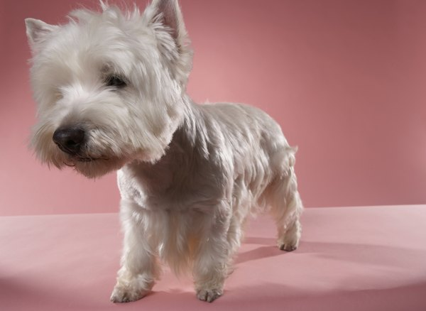 Westies are cuddly-looking little hunters.