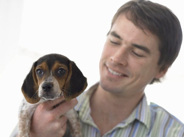 The face of this beagle puppy is similar to that of a bluetick coonhound.