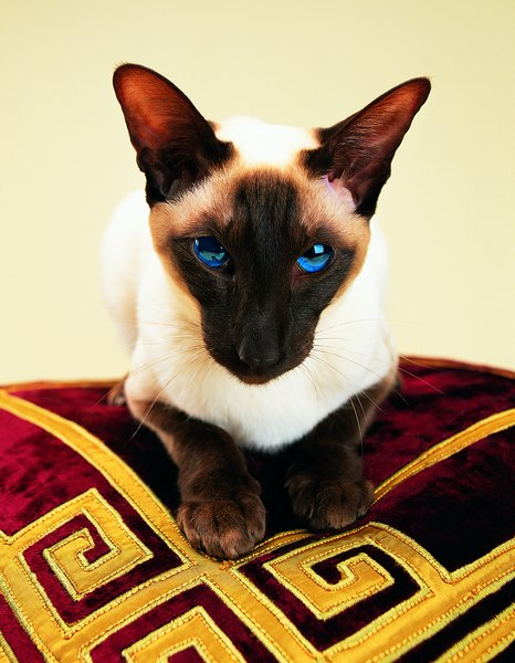 What Is The Difference Between Siamese Himalayan Cats Pets