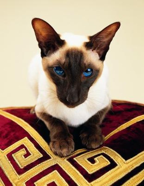Common Medical Disorders In Siamese Cats Pets