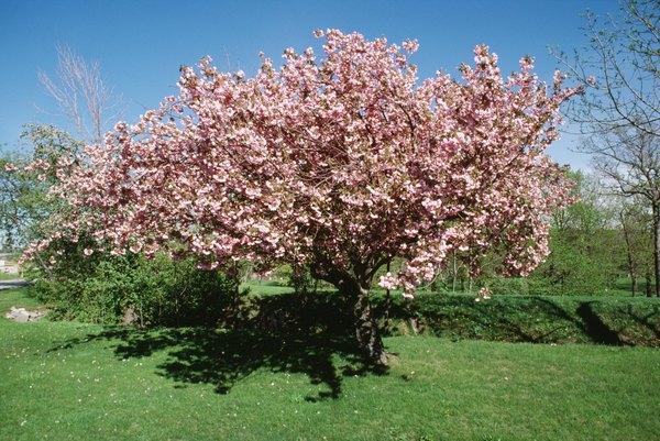 Las cerezas maduran a partir del verano.