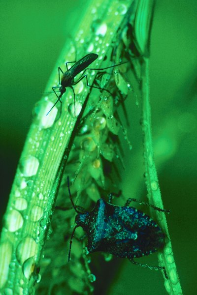 Dragonfly nymphs eat  mosquito larvae.