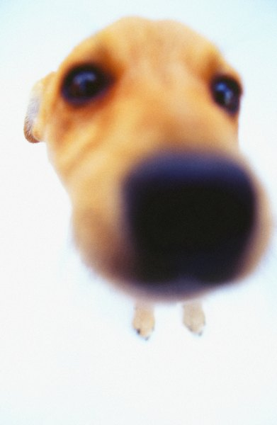 Besides the classic honking cough, some dogs with a bordetella infection experience nasal discharge.