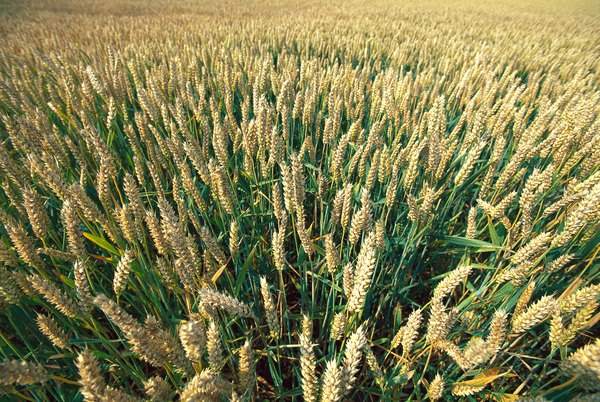 Wheat is a monocot.