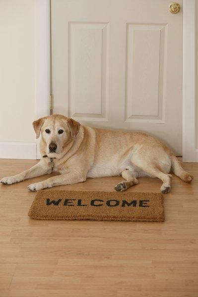 Los labradores no son buenos como perros guardianes.