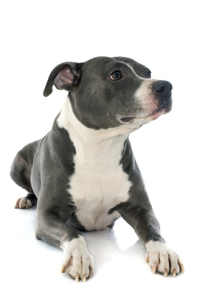 Lovers, not fighters: both the American pit bull terrier and the American Staffordshire terrier are affectionate dogs.