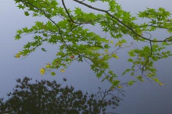 Mature silver maple remove limb