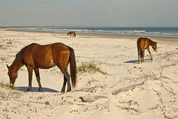 horses on Cumberland Island, Georgia