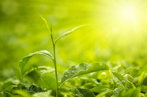 Green plants use sunlight to create energy.