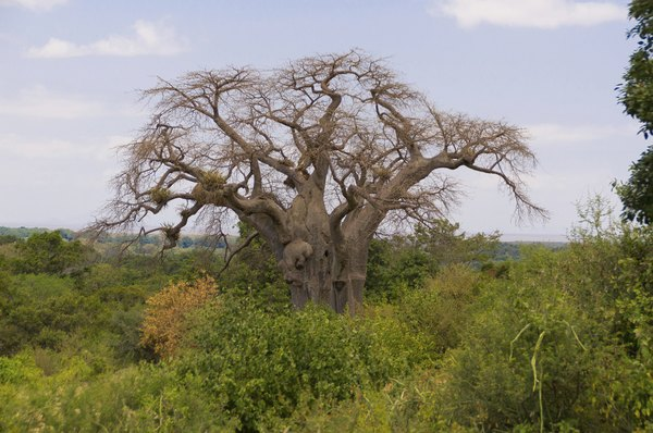 A baobab tree with its distinctive trunk and limbs.