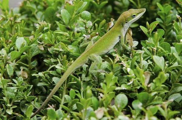 the region is also home to reptiles like the green anole