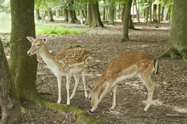 two juvenile spotted fawns