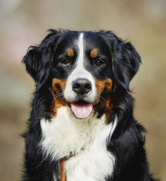 The easy-care coat of the Bernese Mountain dog needs less grooming than many other dog breeds.