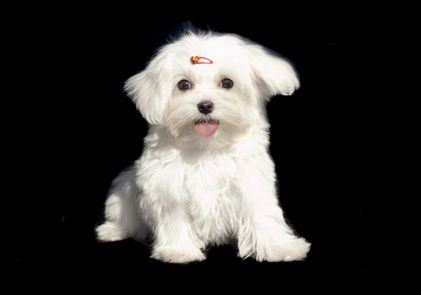 The spunky Maltese retains a youthful disposition throughout his lifetime.