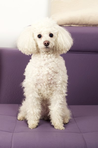 Best Dog Food Maltese Poodle