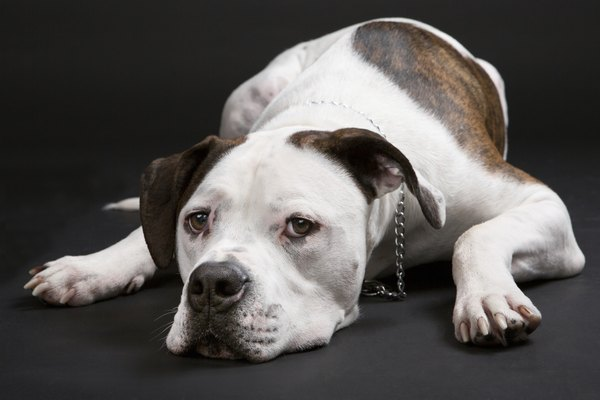 A Scott American bulldog has a longer muzzle and sleek body.