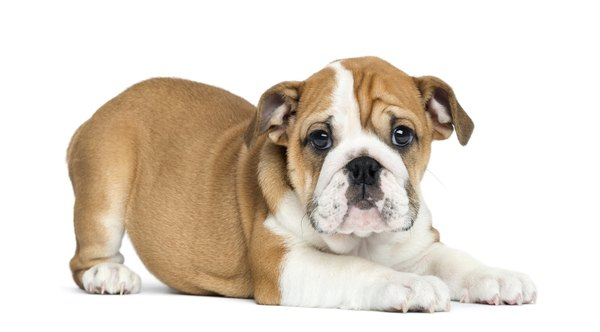 Bulldog puppies might require special dog food because of their facial structure.