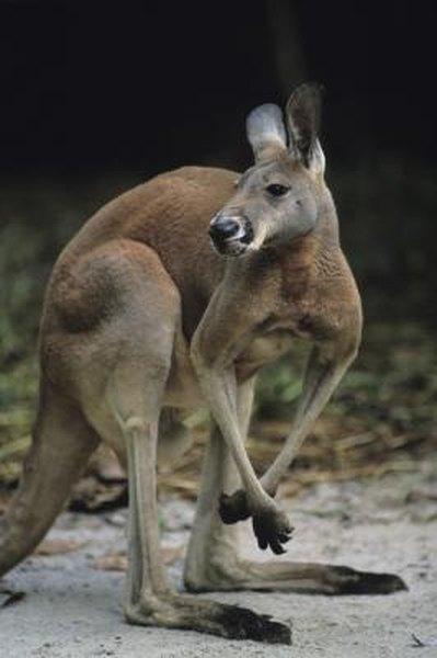 Description Of A Kangaroo Animals Mom