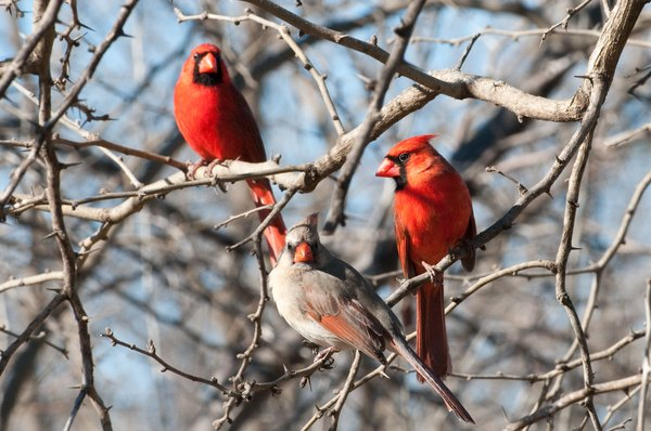 Three cardinals flock together on bare branches.