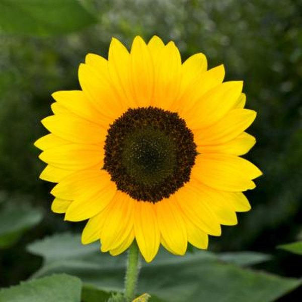 How To Help A Potted Sunflower That Is Dying Home Guides Sf Gate