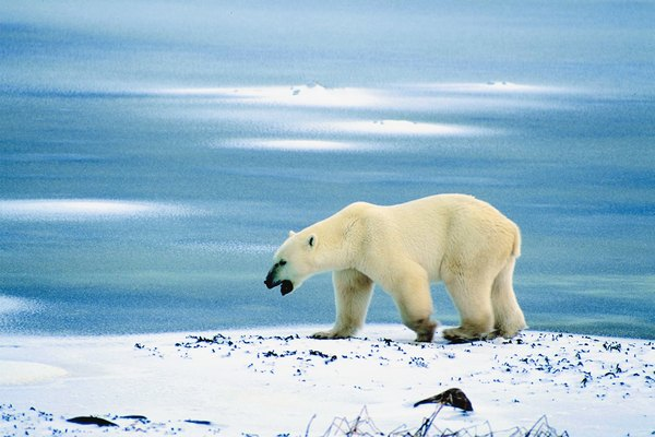 Polar bears are affected by the melting of polar ice caps