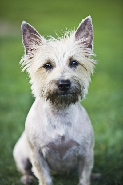 Cairn Terrier Dog Grooming Tips Pets