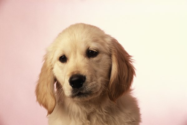 Predicting The Size Of Your Dogs Offspring Dog Care Daily Puppy