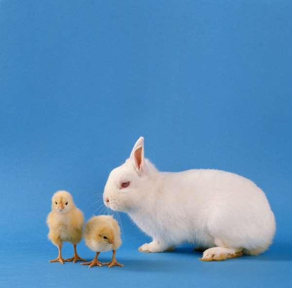 Bunnies and chicks together outside of Easter? It can happen.
