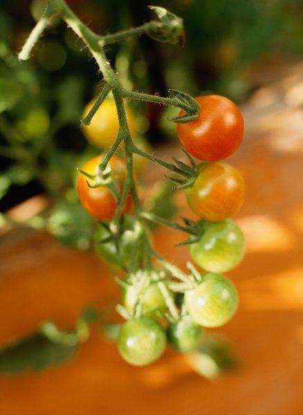 Los tomates enanos necesitan menos profundidad que los tomates comunes.